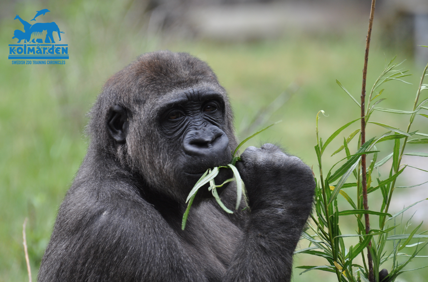 Gorilla eating